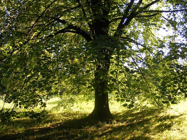 strom lípa